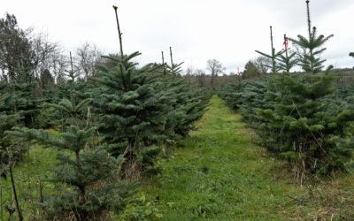 Des sapins de Noël sans pesticide, c'est possible et rentable